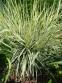 "Райграс бульбистий ""Варієгатум"" (Arrhenatherum elatius subsp. bulbosum ""Variegatum"") - 6"