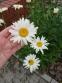 """Королиця """"Аляска"""" (Leucanthemum x superbum """"Alaska"""") - 6"""