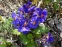 """Первоцвіт Томмазіні """"Ю енд Мі Блю""""(Primula х tommasiniі """"You and Me Blue"""") - 3"""