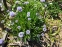 Глобулярія крапкова (Globularia bisnagarica L.) - 7