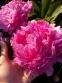 "Півонія ""Дрезден Пінк"" (Paeonia ""Dresden Pink"") - 2"