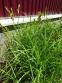 Осока пальмолиста (Carex muskingumensis) - 4
