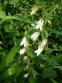 Дзвоники кіньськочасниколисті (Campanula alliariifolia) - 2