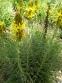 Асфоделіна жовта (Asphodeline lutea) - 6