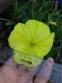 Енотера міссурійська (Oenothera missouriensis) - 8