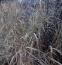 Просо приховане або Діхантеліум прихований (Panicum clandestinum, Dichanthelium clandestinum) - 2