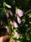 Дзвоники крапчасті (Campanula punctata) - 1