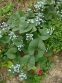 Бруннера сибірська (Brunnera sibirica Stev.) - 1