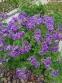 """Герань чудова """"Роземор"""" (Geranium x magnificum """"Rosemoor"""") - 2"""