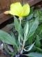 Енотера міссурійська (Oenothera missouriensis) - 3