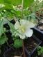 Подофіл  щитоподібний (Podophyllum peltatum) - 1