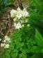 "Орлики звичайні ""Клементін Вайт"" (Aquilegia vulgaris ""Clementine White"") - 3"