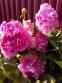 "Півонія ""Дрезден Пінк"" (Paeonia ""Dresden Pink"") - 4"