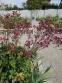 "Астранція велика ""Ред Джойс"" (Astrantia major ""Red Joyce"")  - 5"