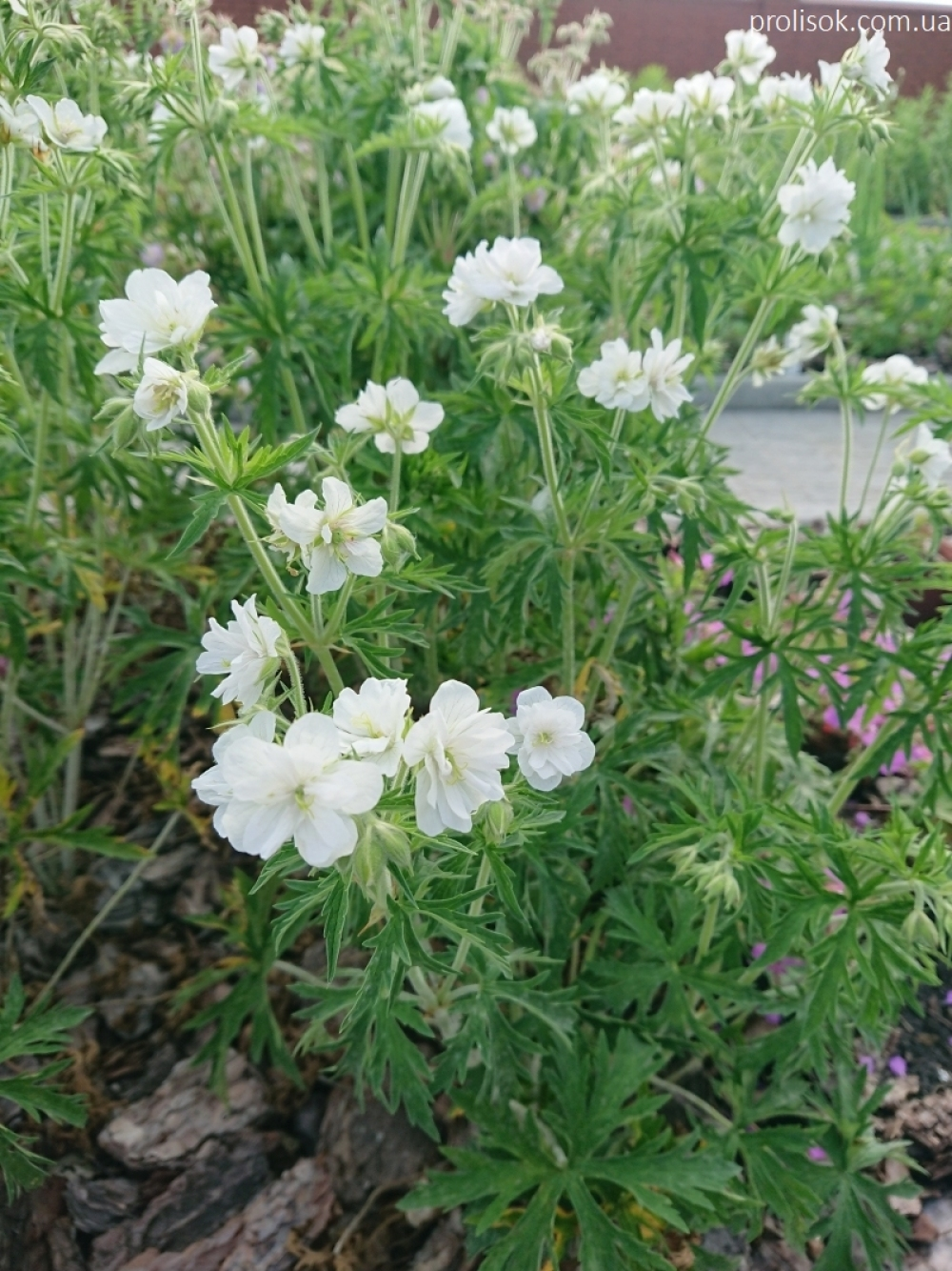 "Герань лучна ""Дабл Джевел"" (Geranium pratense ""Double Jewel"")"