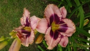 "Лилейник ""Даринг Десепшн"" (Hemerocallis ""Daring Deception"")"