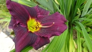 "Лілійник ""Грейп Вельвет"" (Hemerocallis ""Grape Velvet"")"