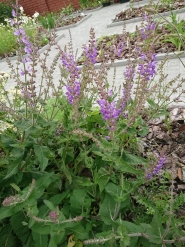 Шавлія прутяна (Salvia virgata)
